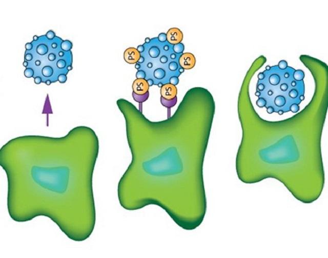 Đại thực bào là một thành phần của miễn dịch bẩm sinh đang tiêu diệt một tế bào hỏng. Nguồn: Internet